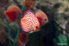 красные рыбы