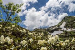 Caucases flowers